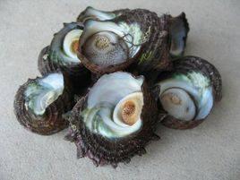 海螺三寶之二:〔草螺:蠑螺〕照片取自網路